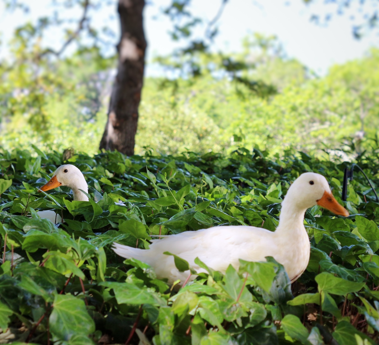 Photograph of ducks at Groot Constantia using a Canon 100D