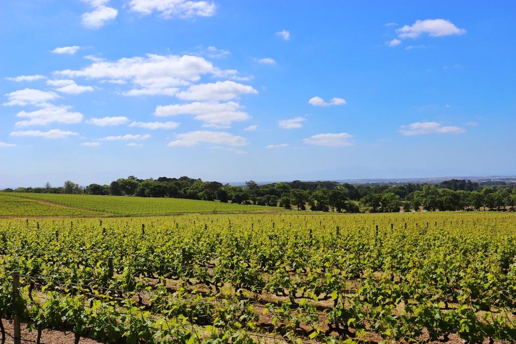 Vineyard view at Groot Constantia